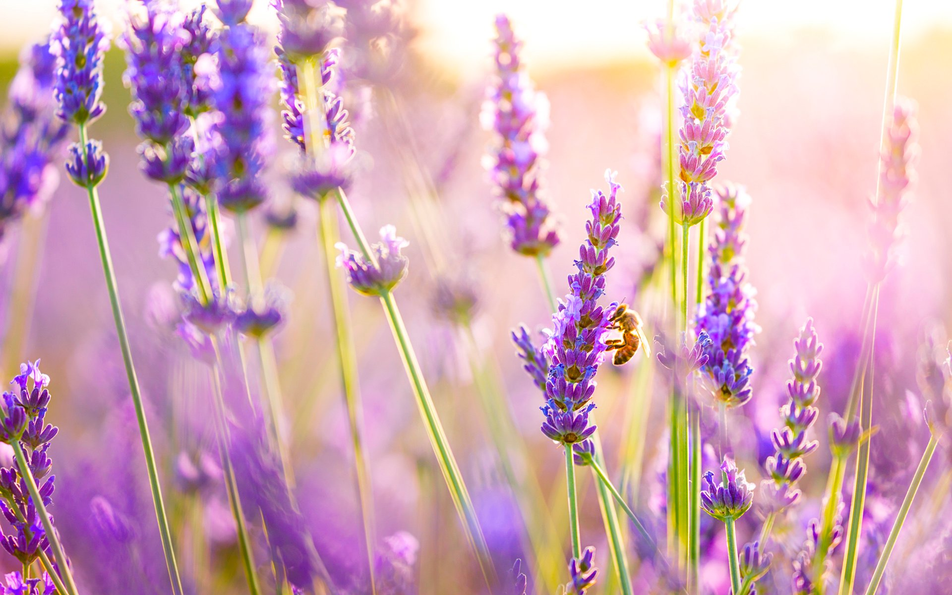 LAVENDER WALLPAPERS FREE Wallpapers Background images 1920x1200
