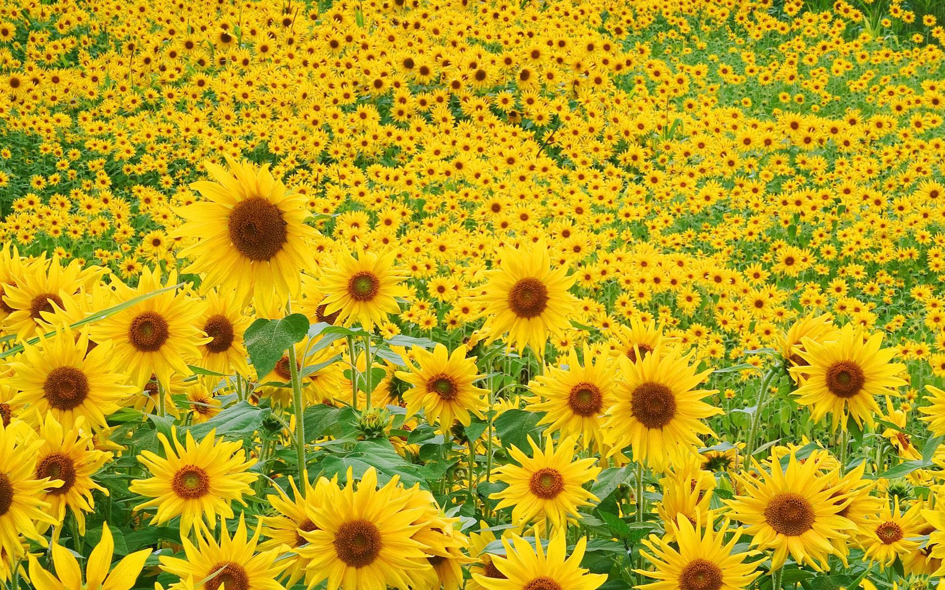 Sunflower Field Wallpaper 2324 HD Wallpaper 3D Desktop 1920x1200