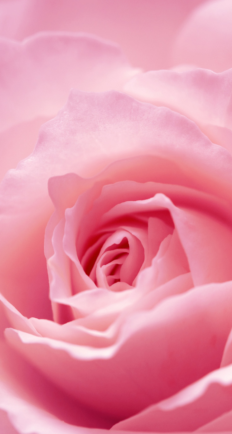 Light pink roses wallpaper wallpapersafari - Pink rose black background wallpaper ...