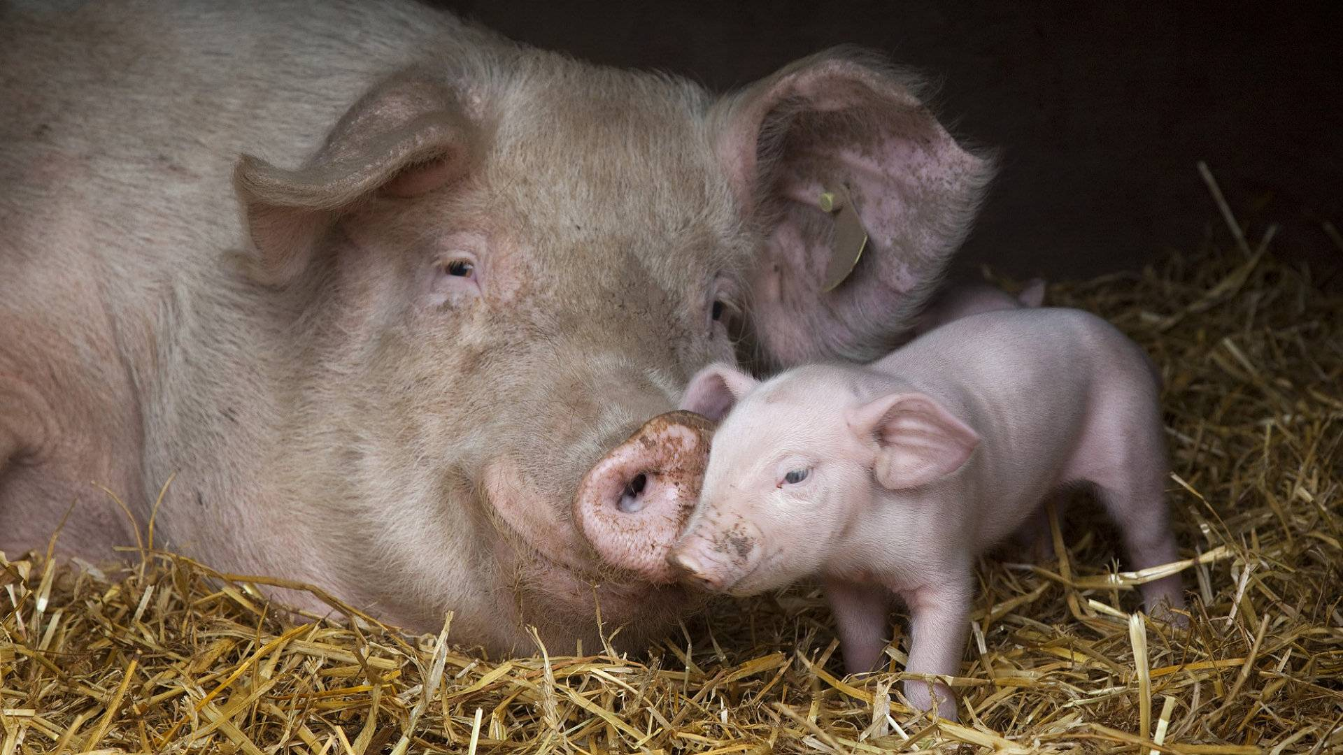 Mother and baby pig   Animal Lovers Picture 1920x1080