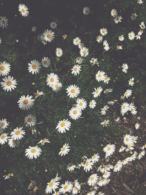 daisy flowers iphone wallpaper Tumblr 500x667