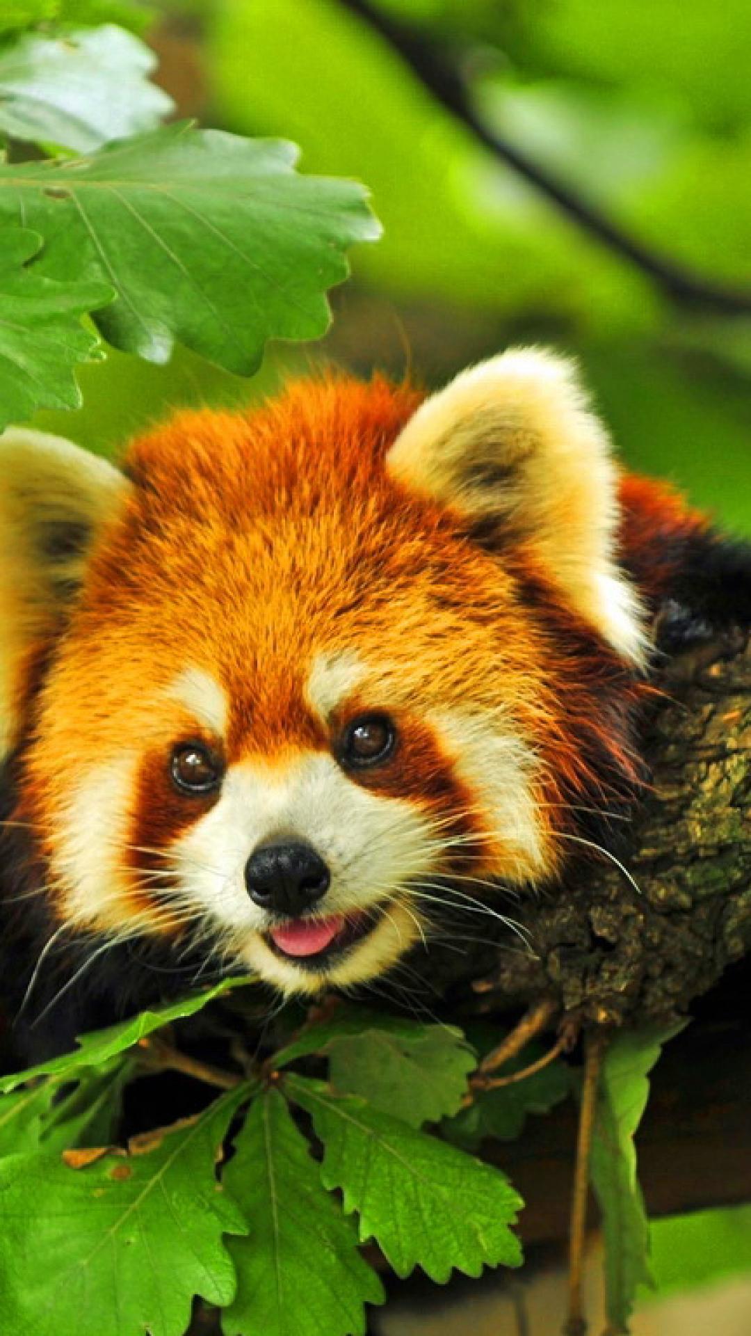 Cute Red Panda Wallpaper - WallpaperSafari  Cute Red Panda Wallpaper