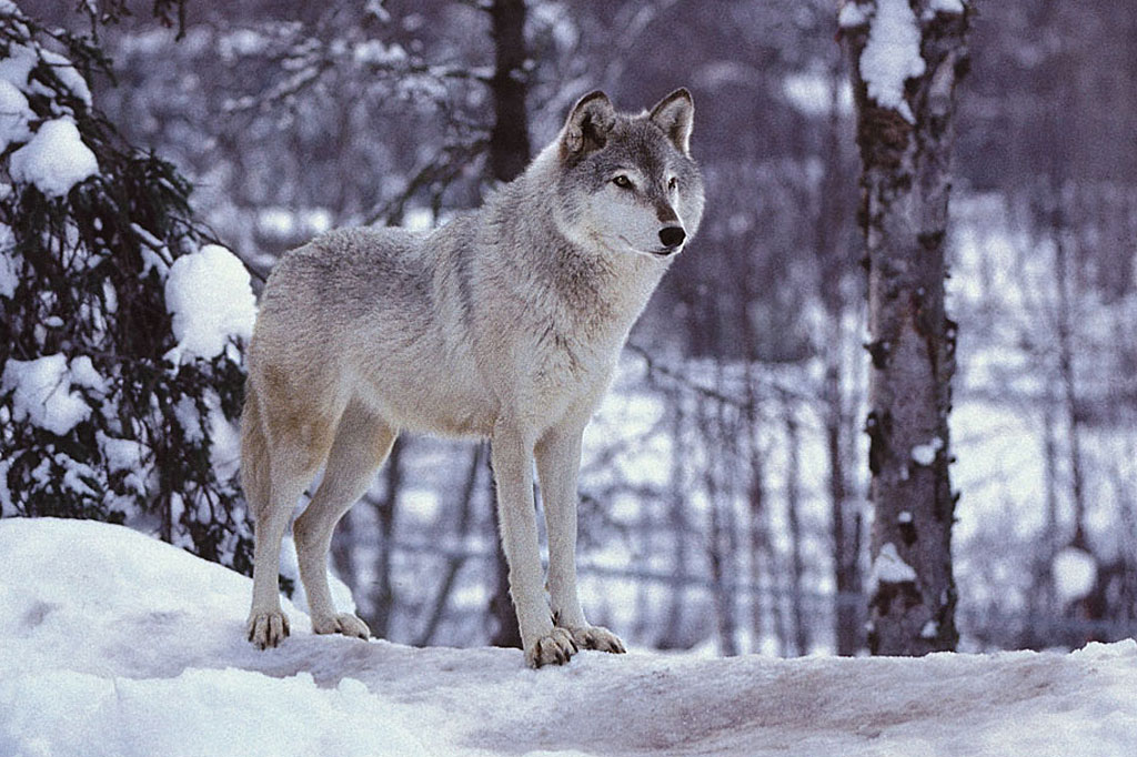 Gray Wolf Snow Wallpaper HD 1024x682