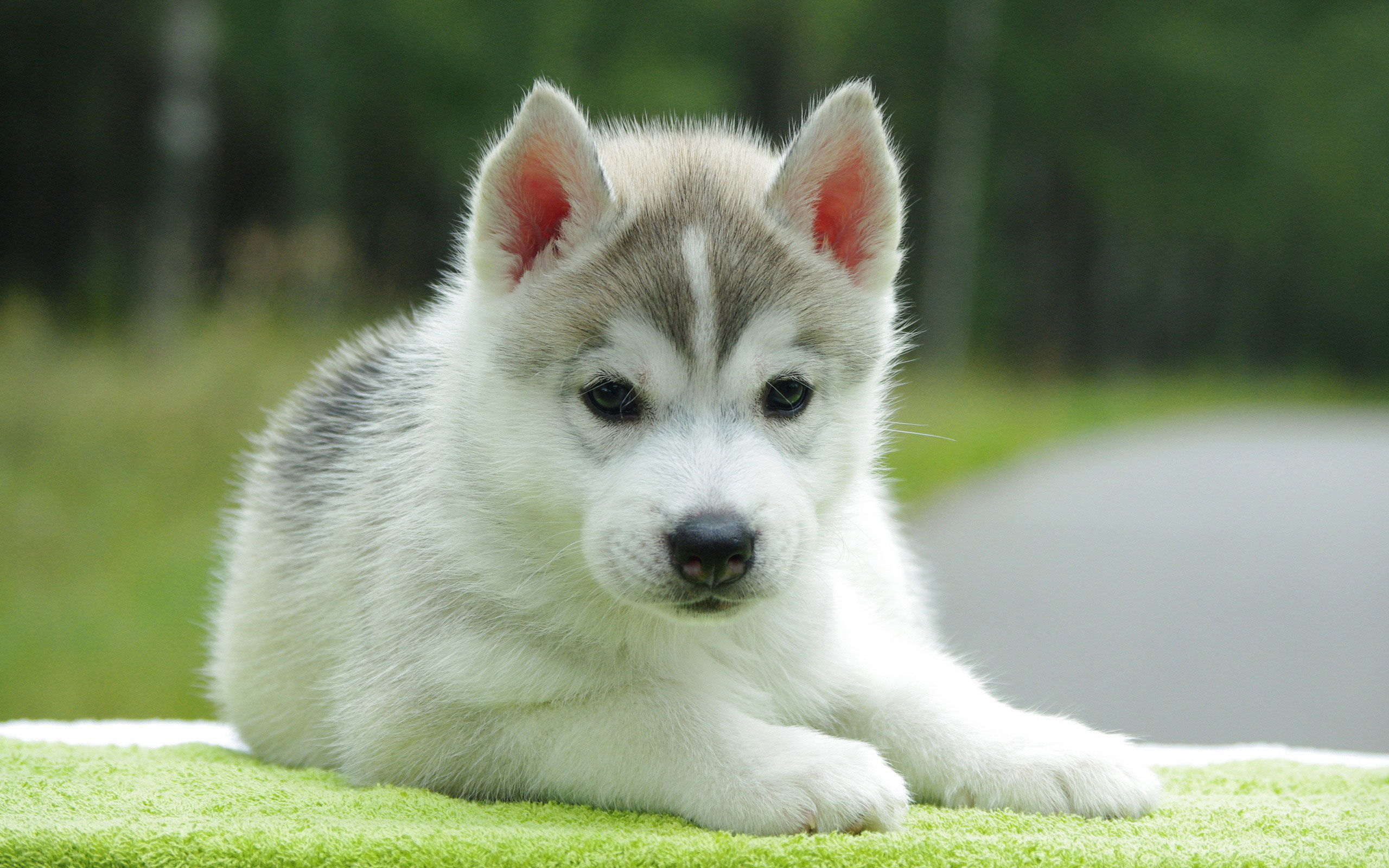 Cute Husky Puppy   Wallpaper High Definition High Quality 2560x1600