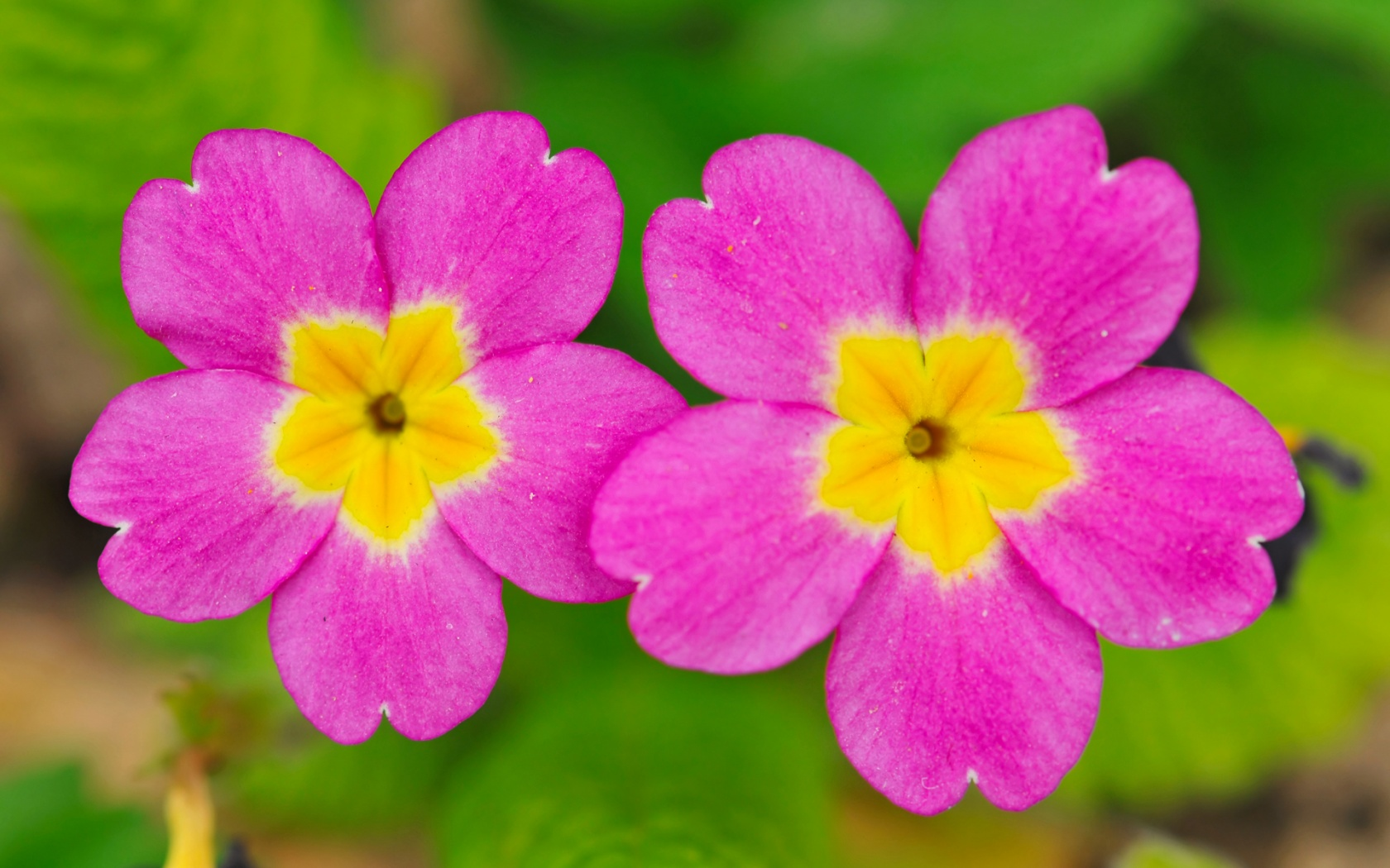 two small cute flowers 1680x1050 Wallpaper 1680x1050