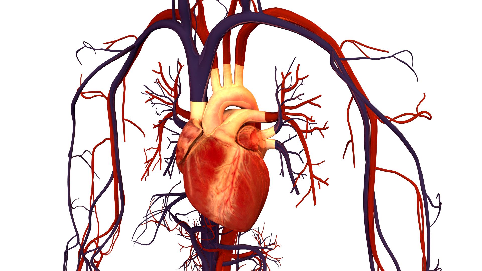 Human Heart Images Download Clip Art Clip Art on 1920x1080