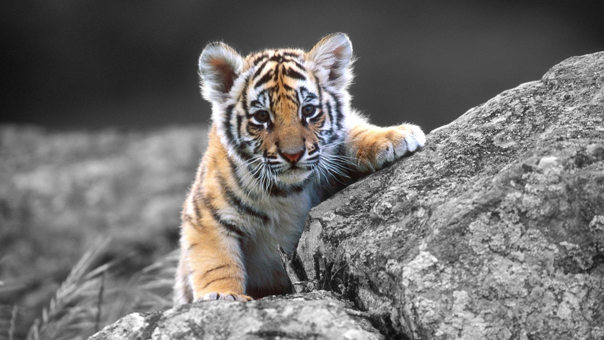 Wallpaper tiger cub wallpaper high definition wallpaper 1080p 1920x1080