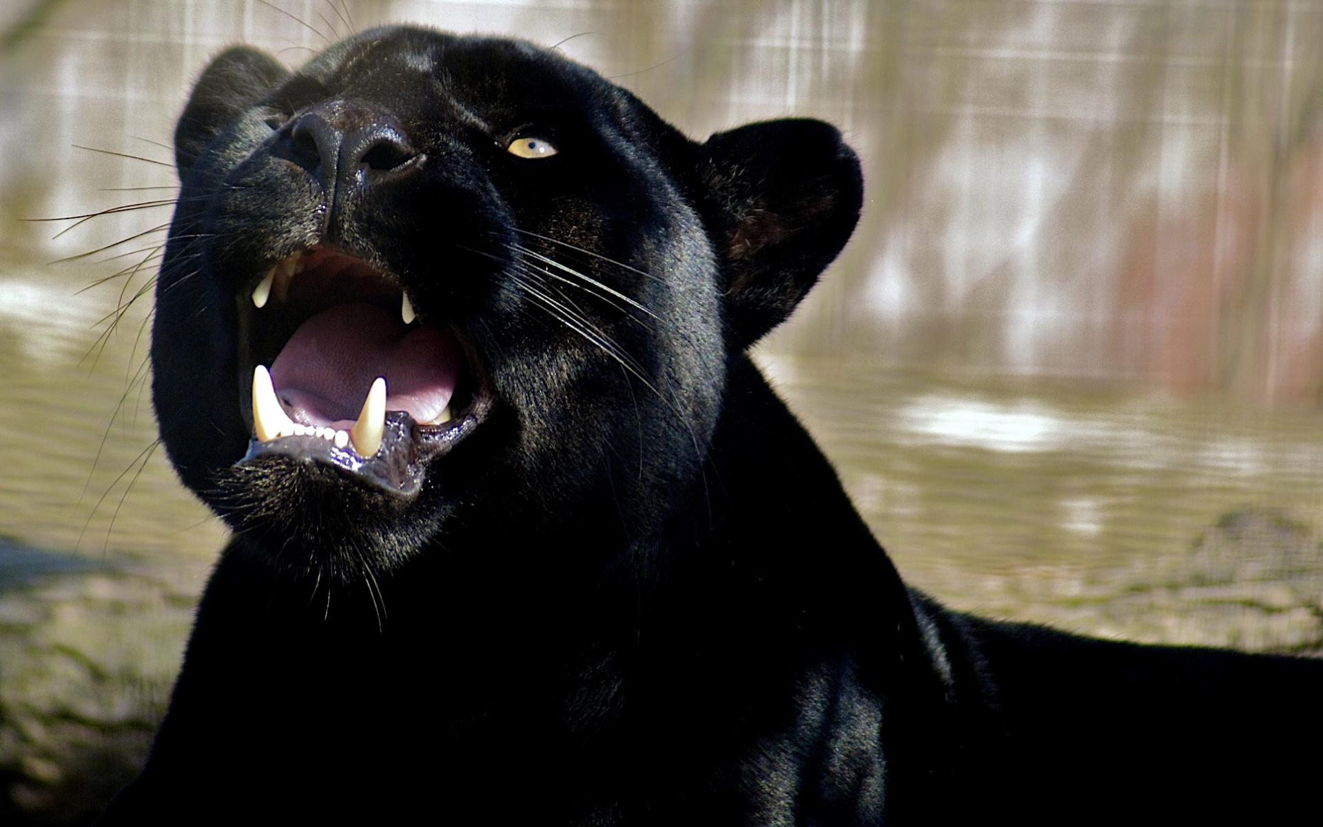 Wallpaper canines roar teeth panther predator black panther 1920x1200