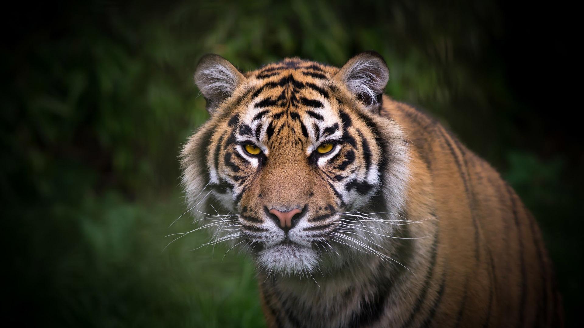 tiger wallpaper widescreen - photo #6