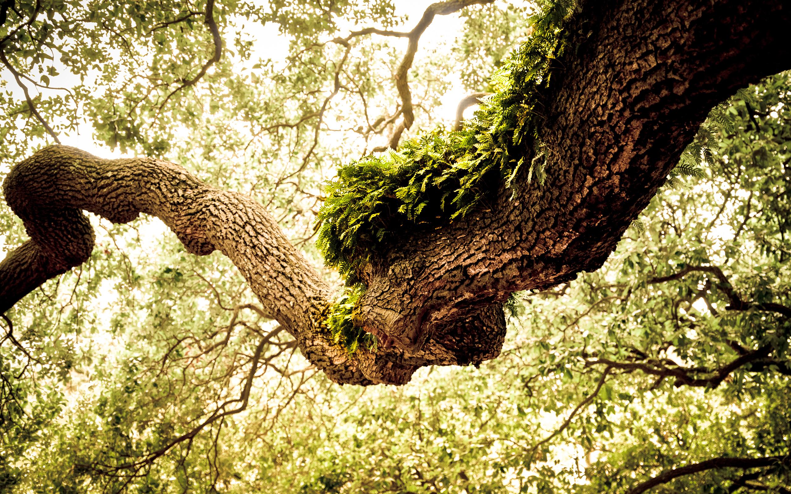 oak tree wallpaper green   HD Desktop Wallpapers 4k HD 2560x1600