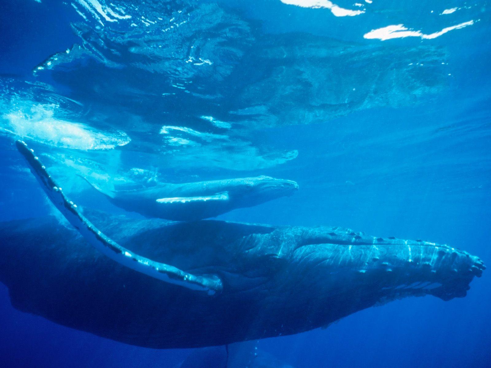 HQ Humpback Whale Hawaii Wallpaper   HQ Wallpapers 1600x1200