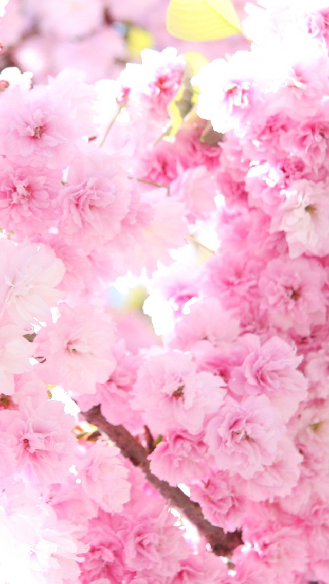iPhone 5 wallpapers HD   Pink cherry blossoms 2 Backgrounds 640x1136