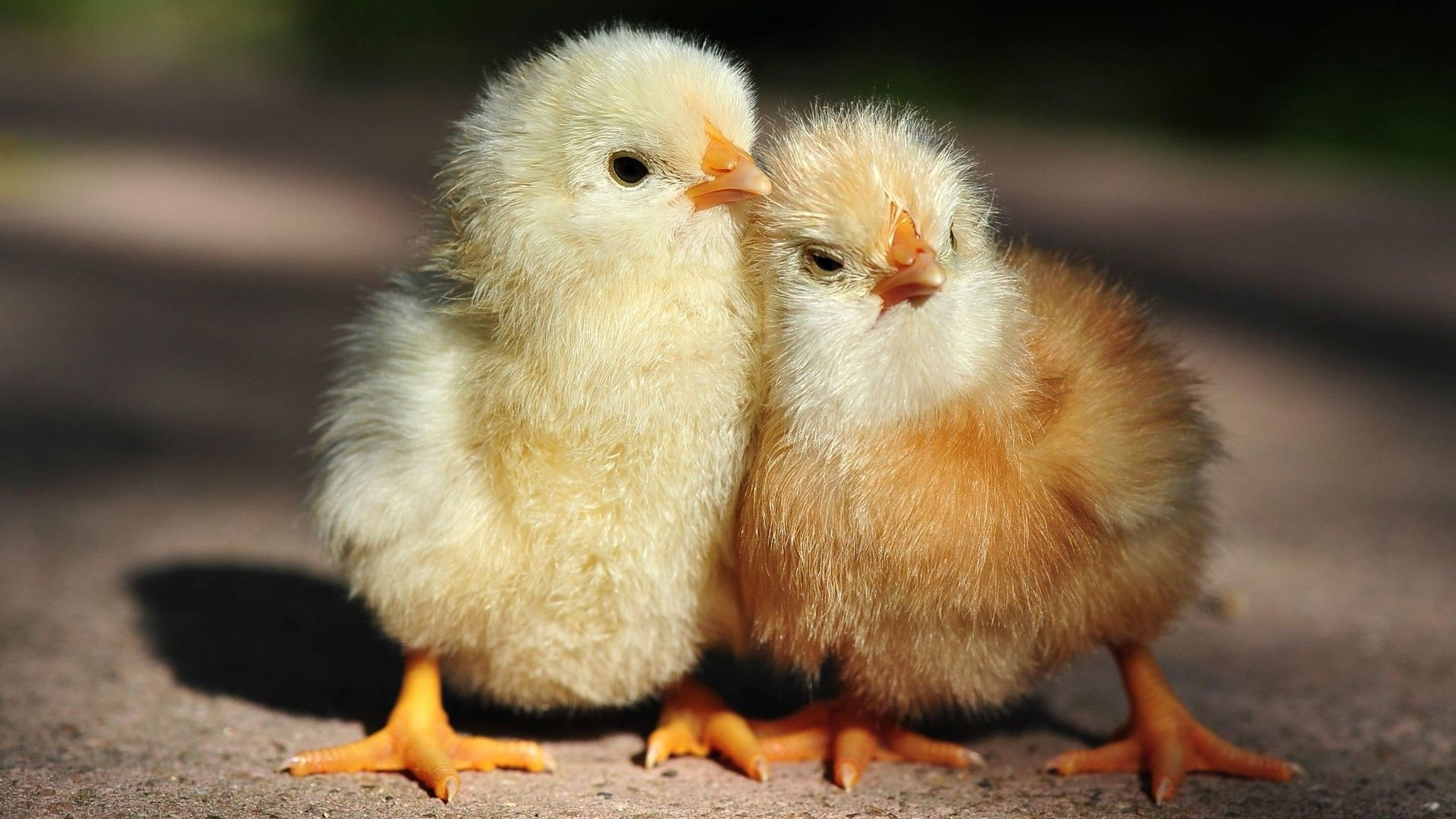 47 Baby Chicks Wallpapers on WallpaperPlay 1920x1080