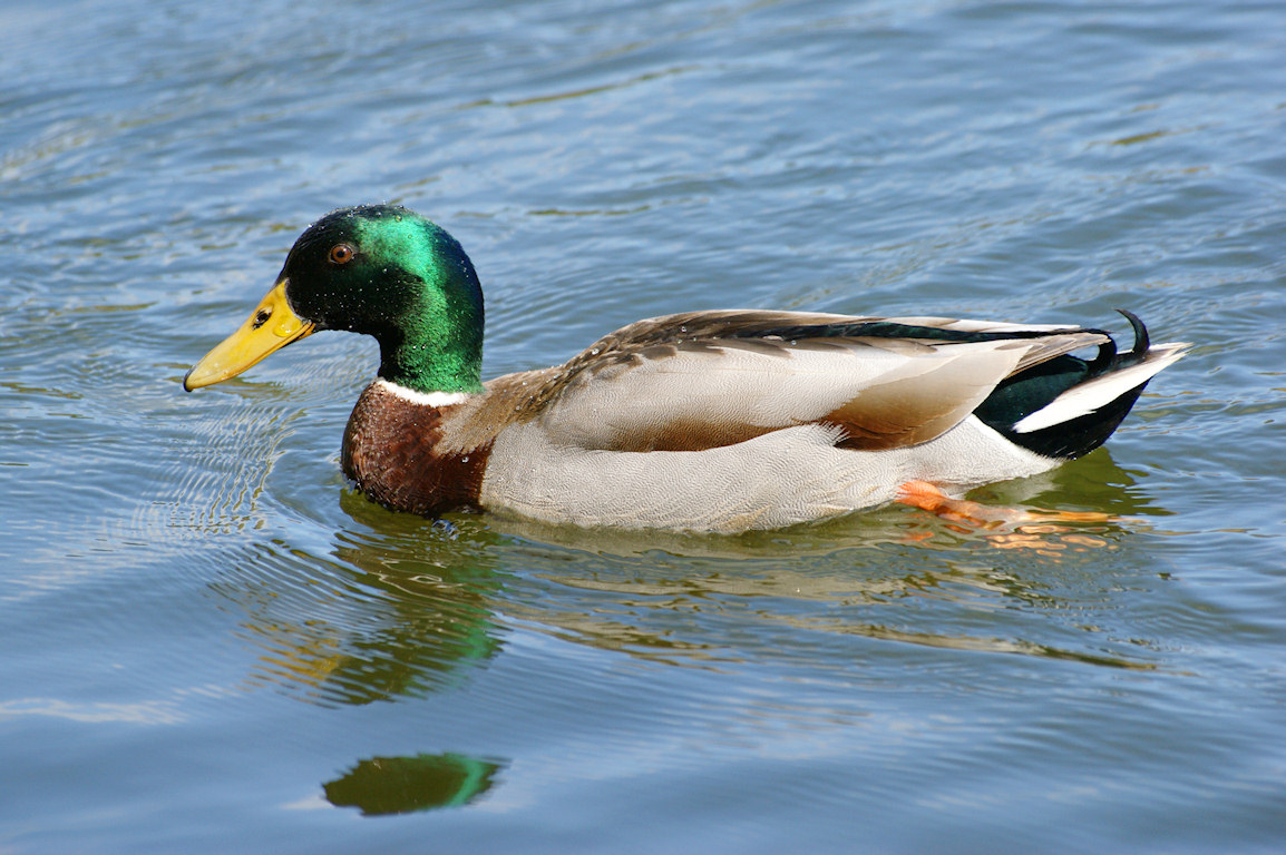 Mallard Duck Wallpaper  WallpaperSafari