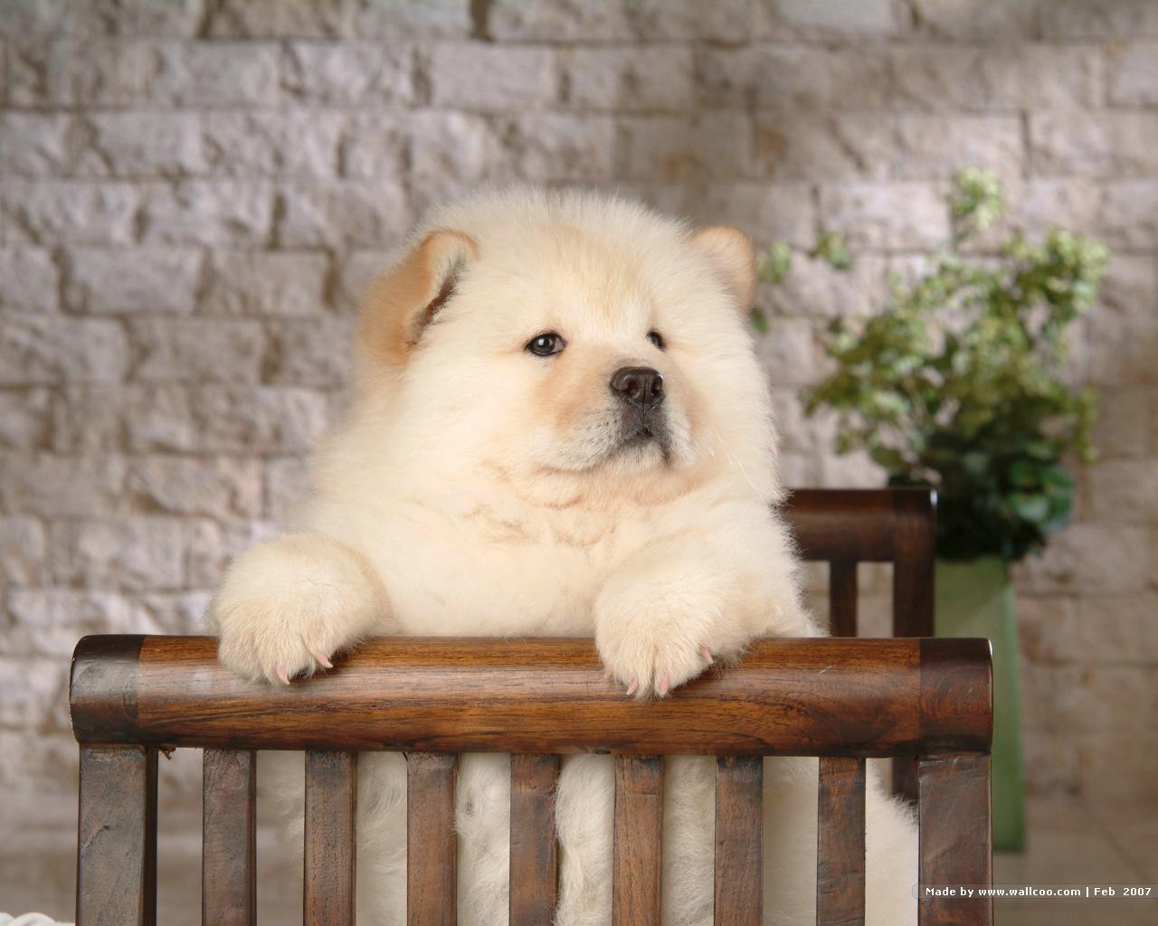 Chow Chow Wallpaper   Dogs Wallpaper 13936778 1280x1024
