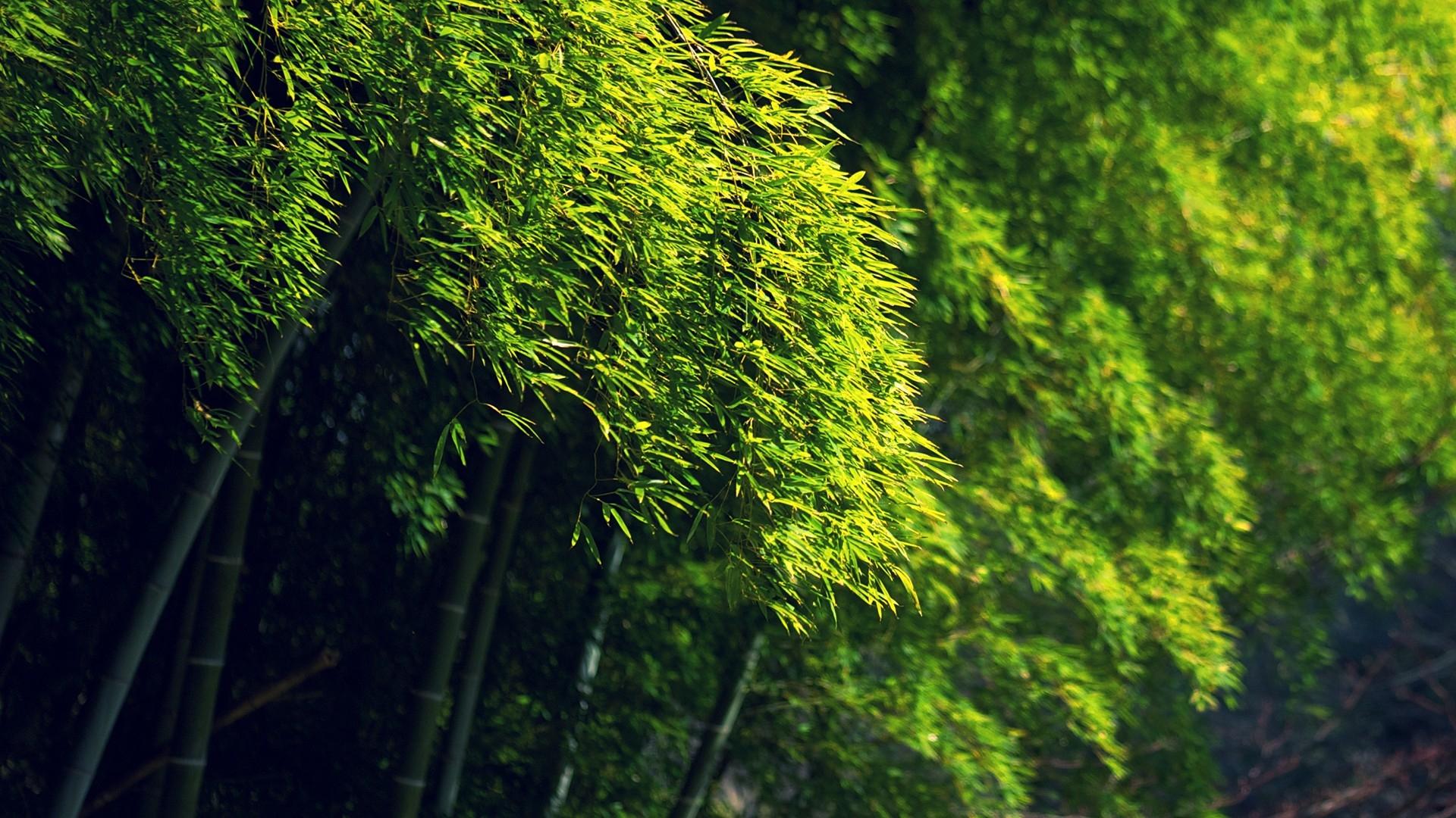 Bamboo green dense forest HD Desktop Wallpaper HD Desktop Wallpaper 1920x1080