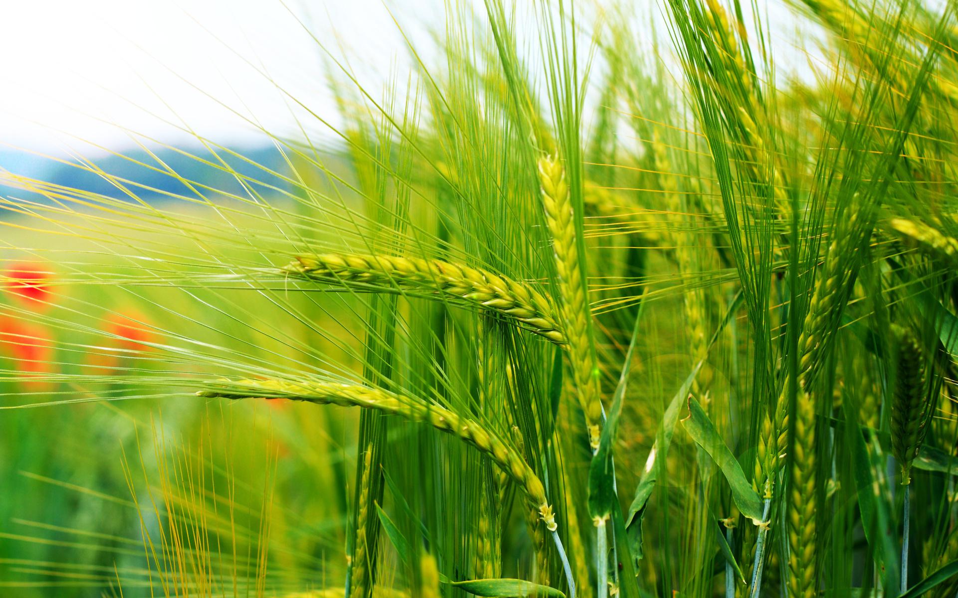 Razza nature landscape nature landscape hd image download wheat 1920x1200