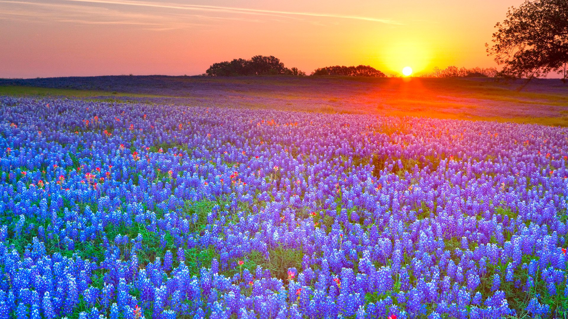 Bluebonnets Texas Hill Country Texas Computer Wallpapers Desktop 1920x1080