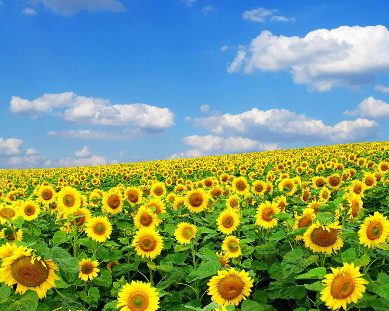 Free Download Full Screen Flower Wallpaper 1280x1024 For