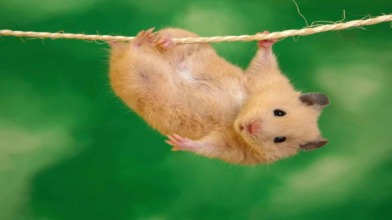 HD Wallpapers Guinea Pig Wallpapers 1366x768