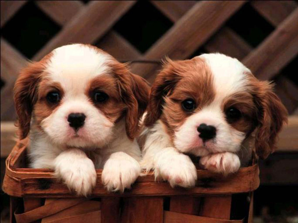 Cute Puppies Wallpapers Cute Puppy Wallpapers for Desktop 1024x768