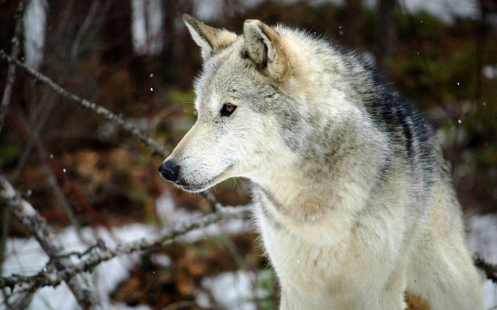 Grey Wolf Wallpapers 1600x1000