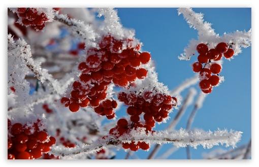 Berries In Winter HD wallpaper for Standard 43 54 Fullscreen UXGA 510x330