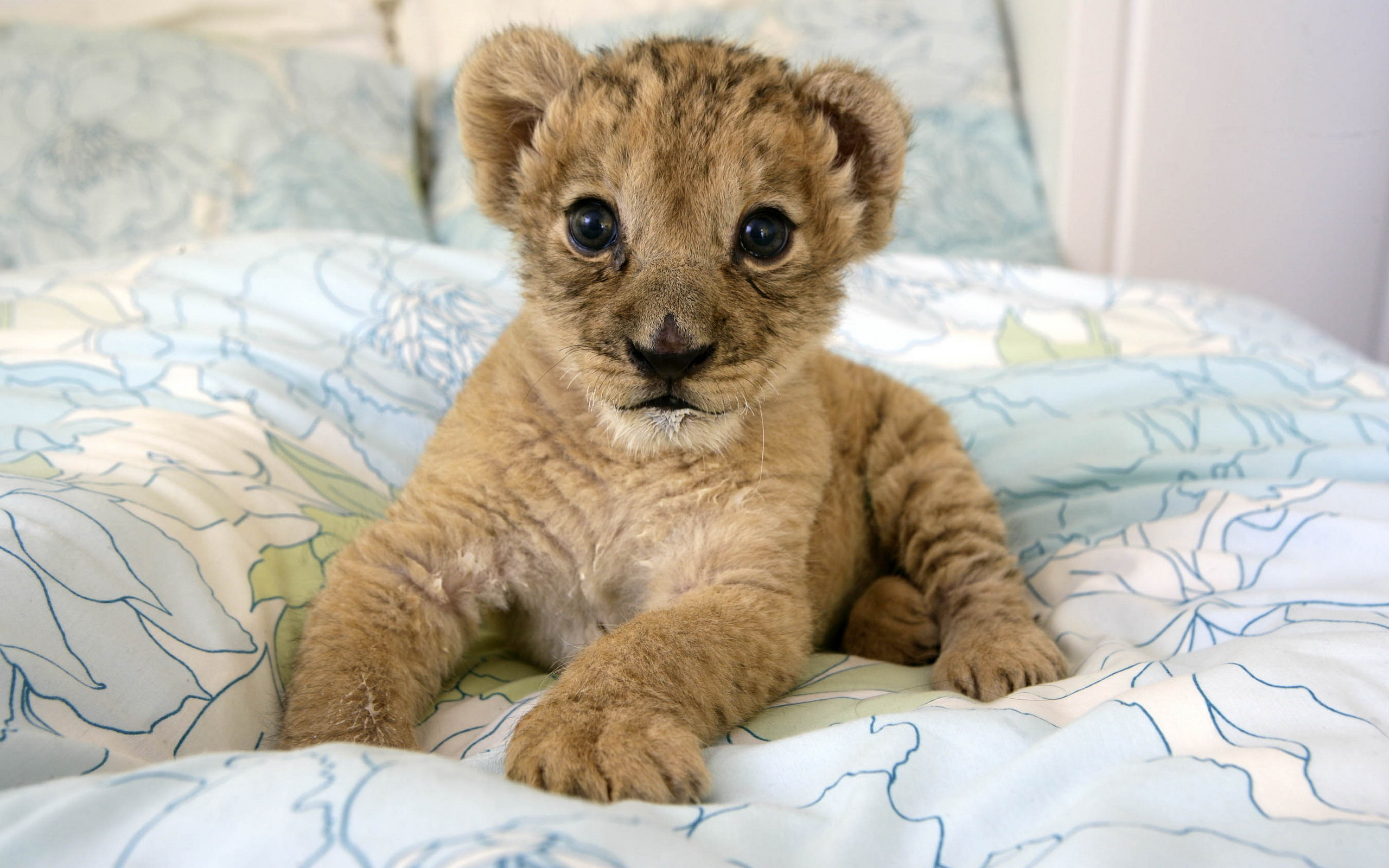 Cute Baby Lion Cub wallpaper   ForWallpapercom 2560x1600