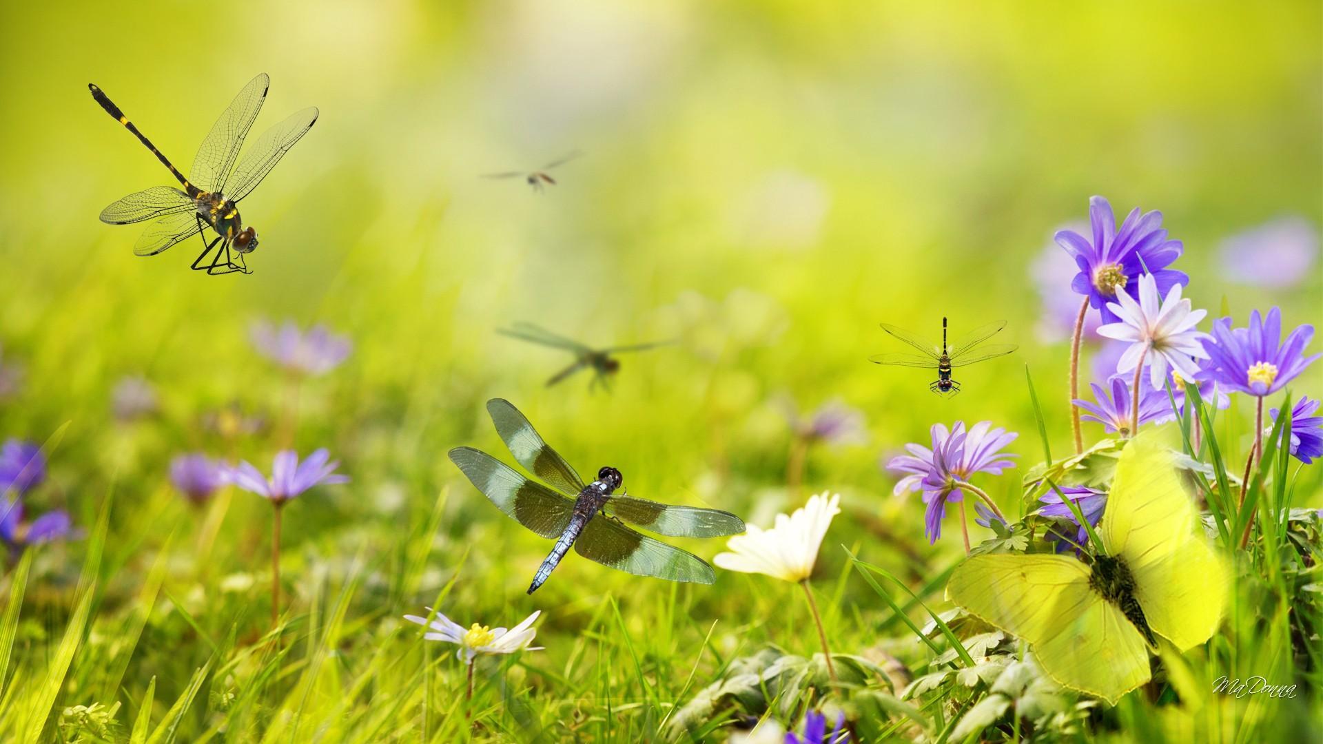 Dragonflies in the garden HQ WALLPAPER   98391 1920x1080