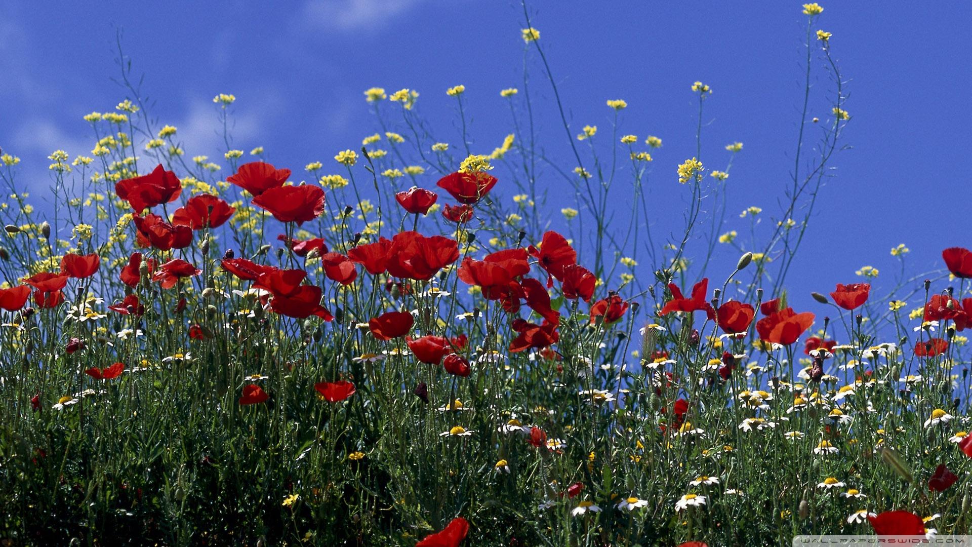 Poppy Field Summer Wallpaper 1920x1080 Poppy Field Summer 1920x1080