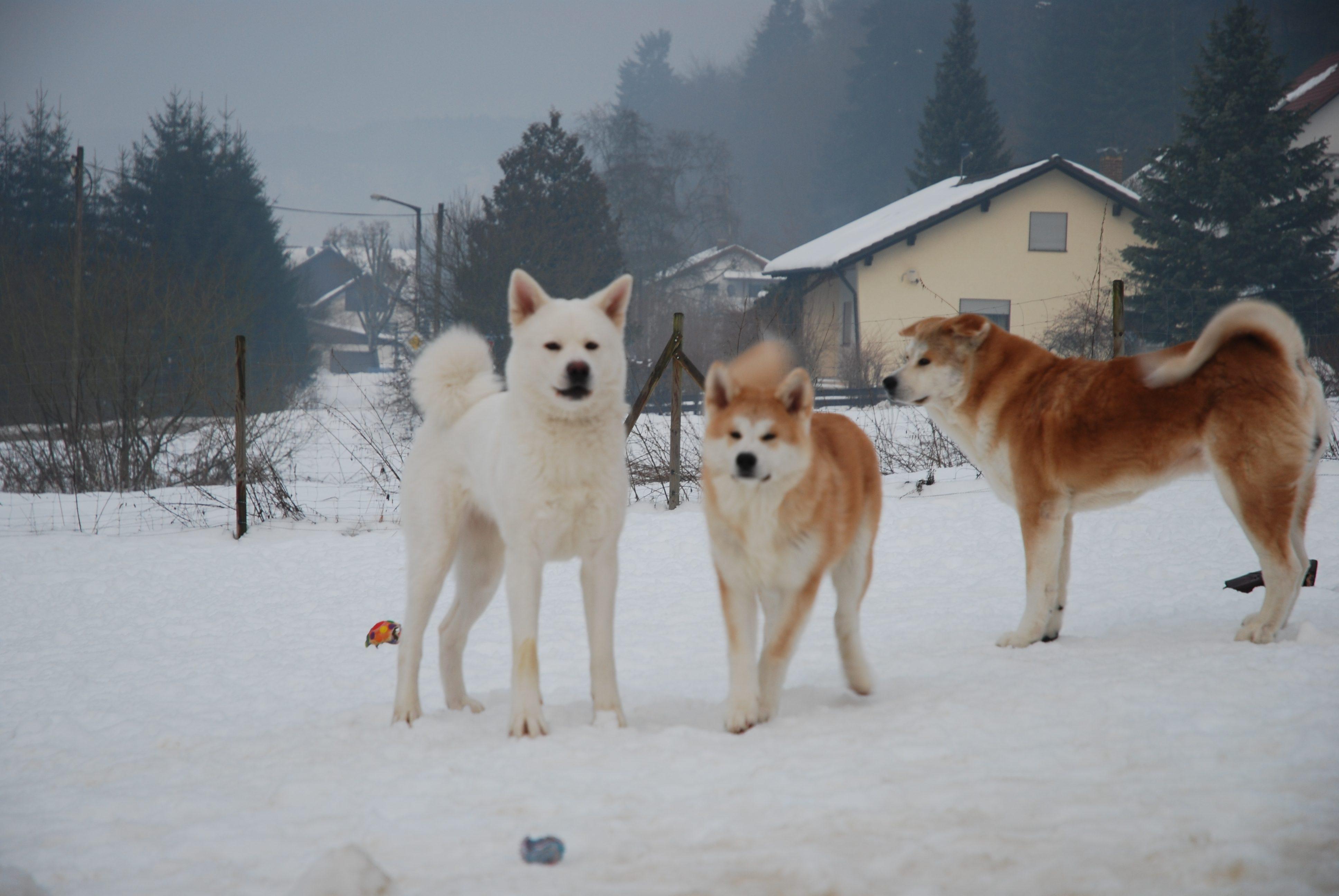 Akita Wallpaper Three akita inu dogs in winter 3872x2592