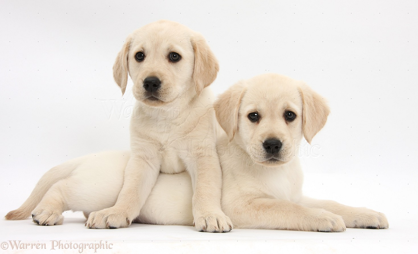 bigs36170 Yellow Labrador Retriever puppies white backgroundjpg 1469x892
