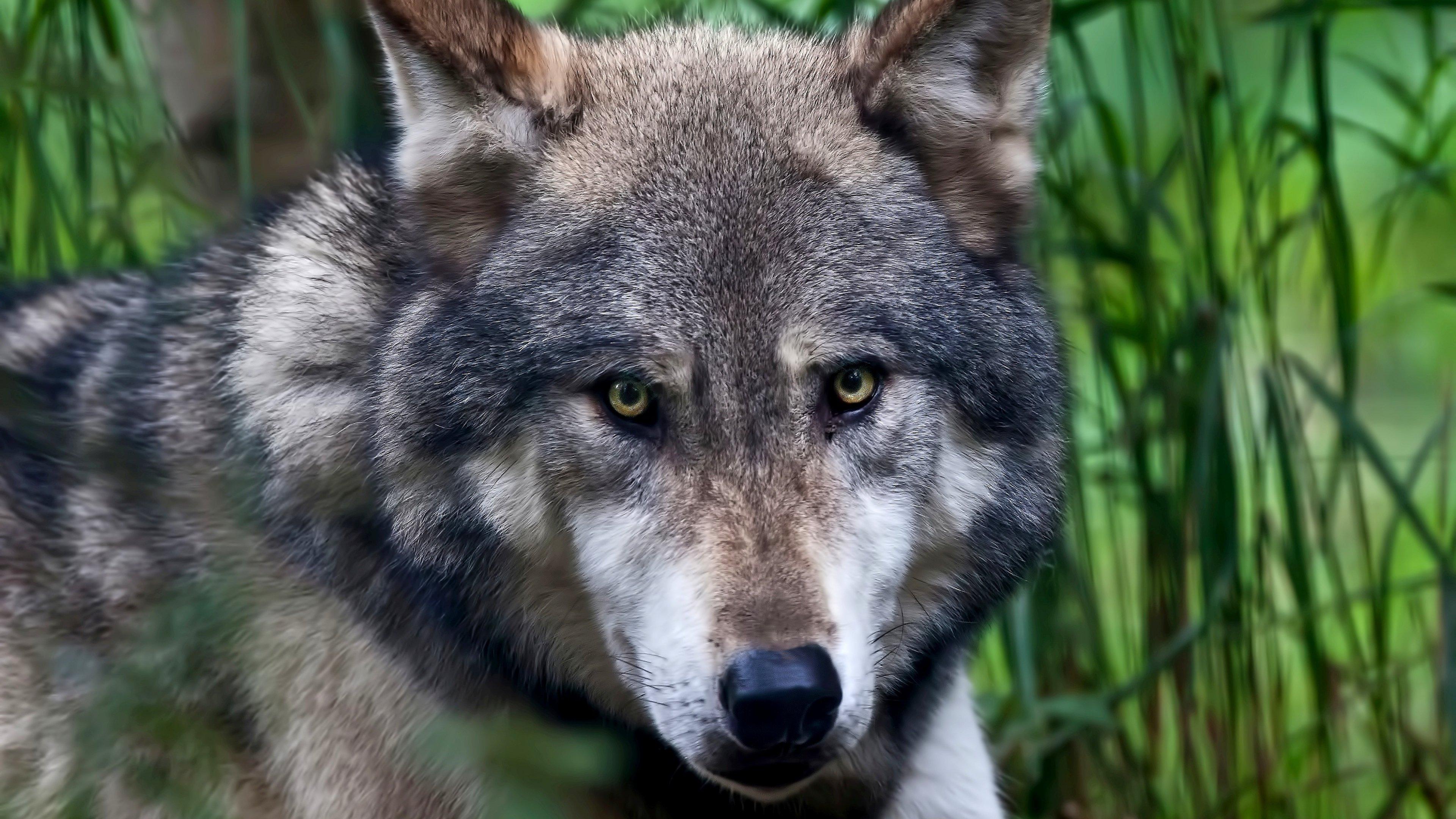Ultra HD Wallpaper 38402160 wolf face color predator 4K Ultra HD 3840x2160