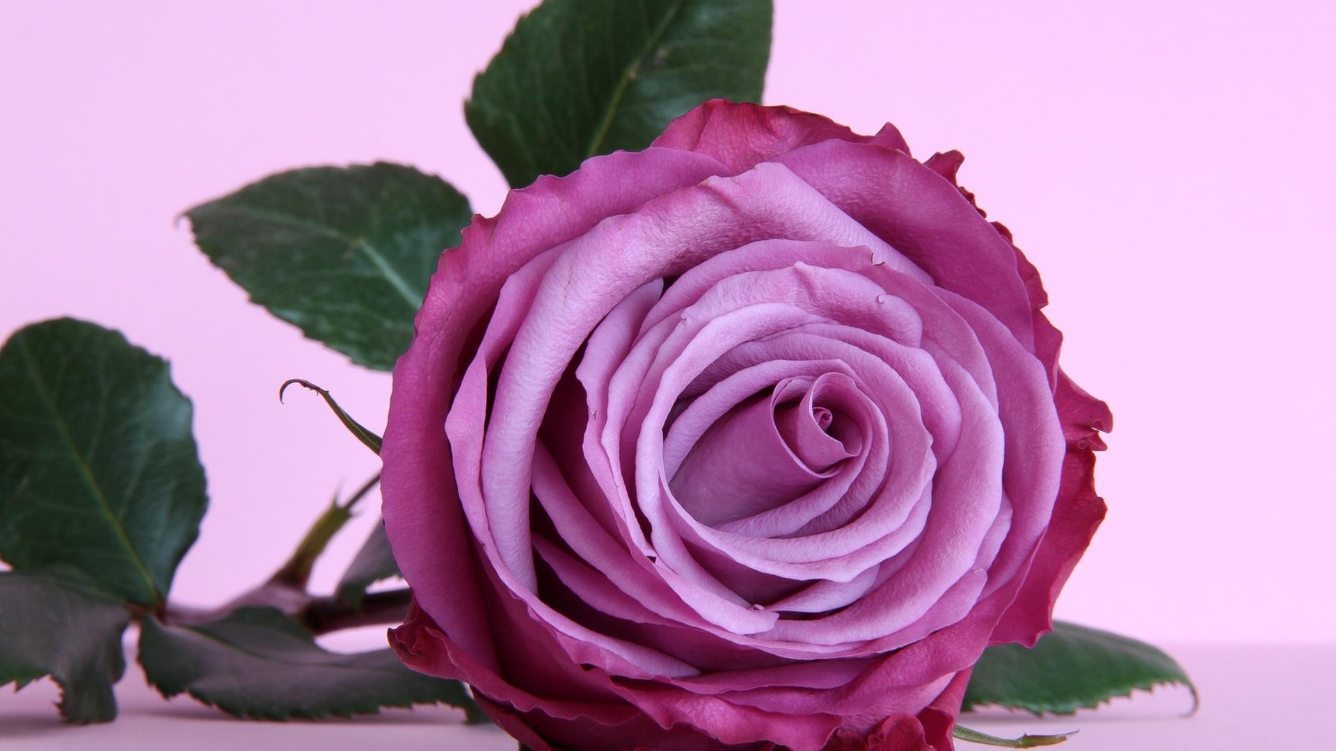 Роза  № 1599279  скачать