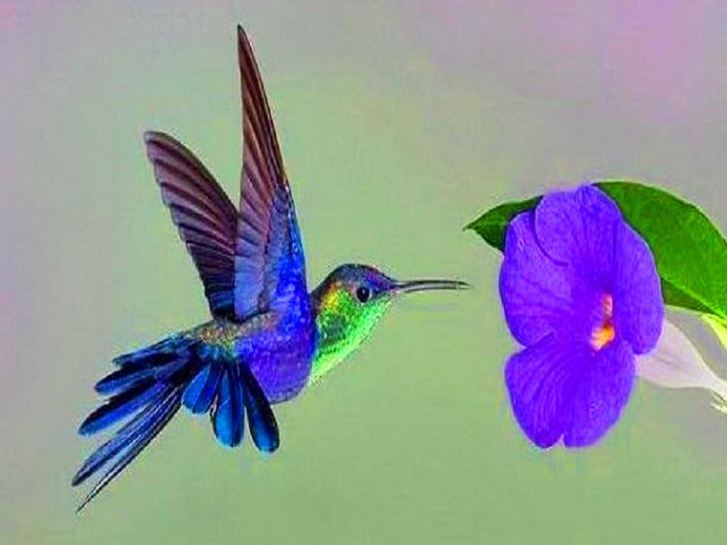Free Hummingbird Desktop Wallpaper Wallpapersafari