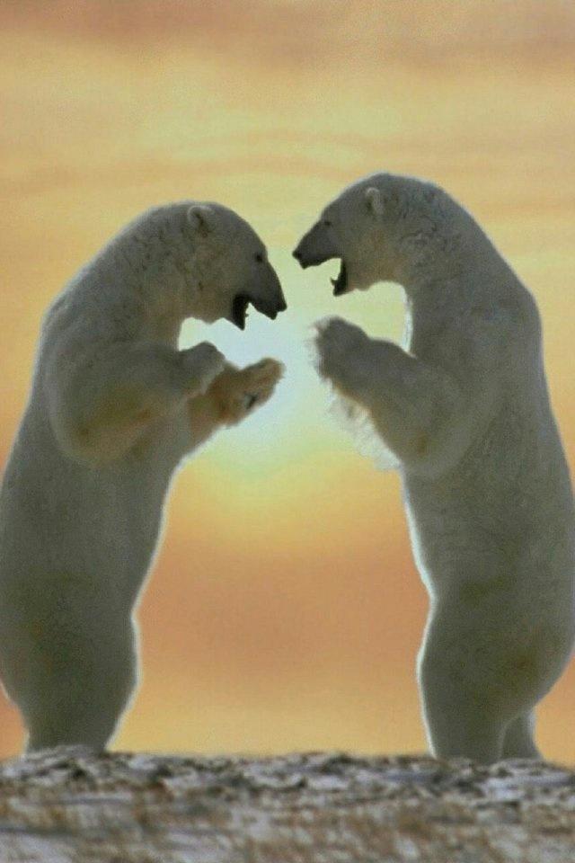 Polar Bears iPhone 4 Wallpaper and iPhone 4S Wallpaper 640x960