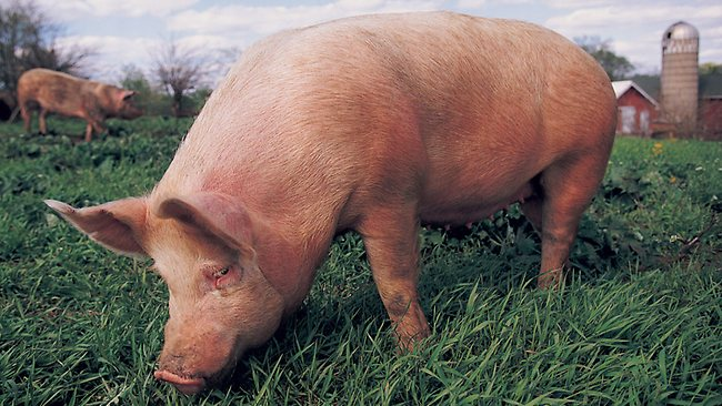 Pig farmers will be able to generate offsets for carbon credits 650x366