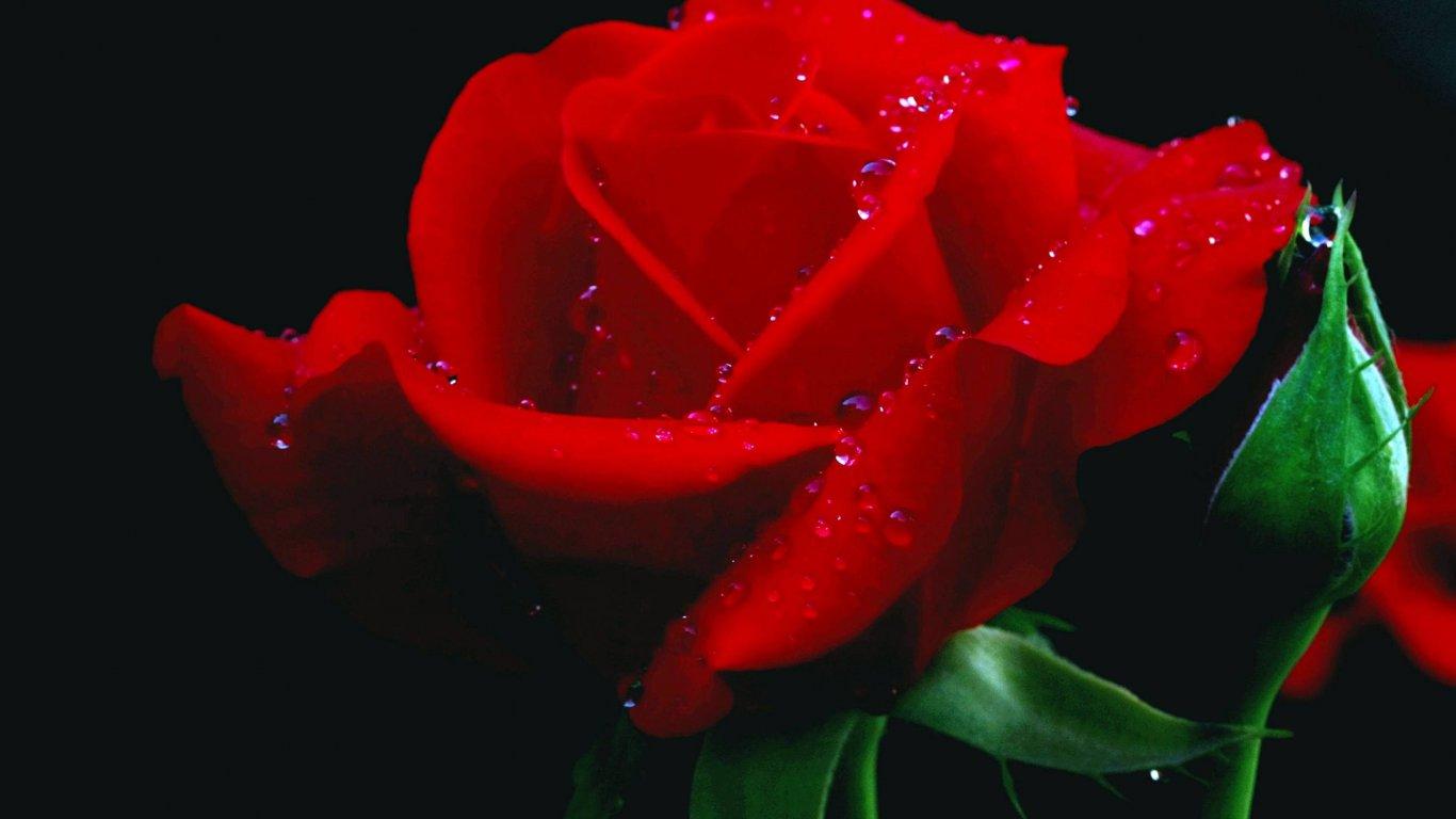 Rose Flower Hd Wallpaper For Laptop Flowers Healthy