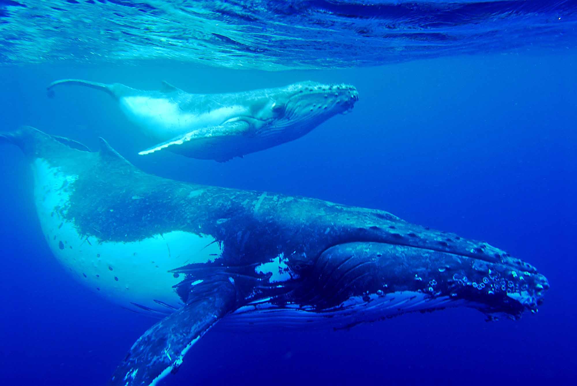 Source URL httpwwwsmscscomphotohumpback whale wallpaper4html 2000x1339