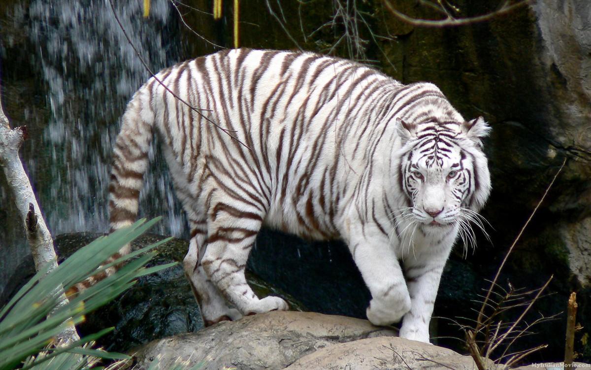 White Tiger White Tiger desktop Wallpaper White Tiger HD Desktop 1200x751