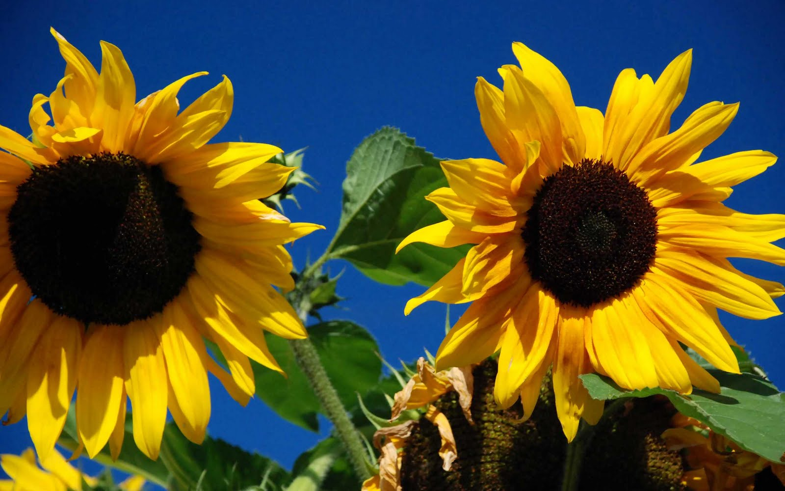 1600x1000px Autumn Sunflower Desktop Wallpaper