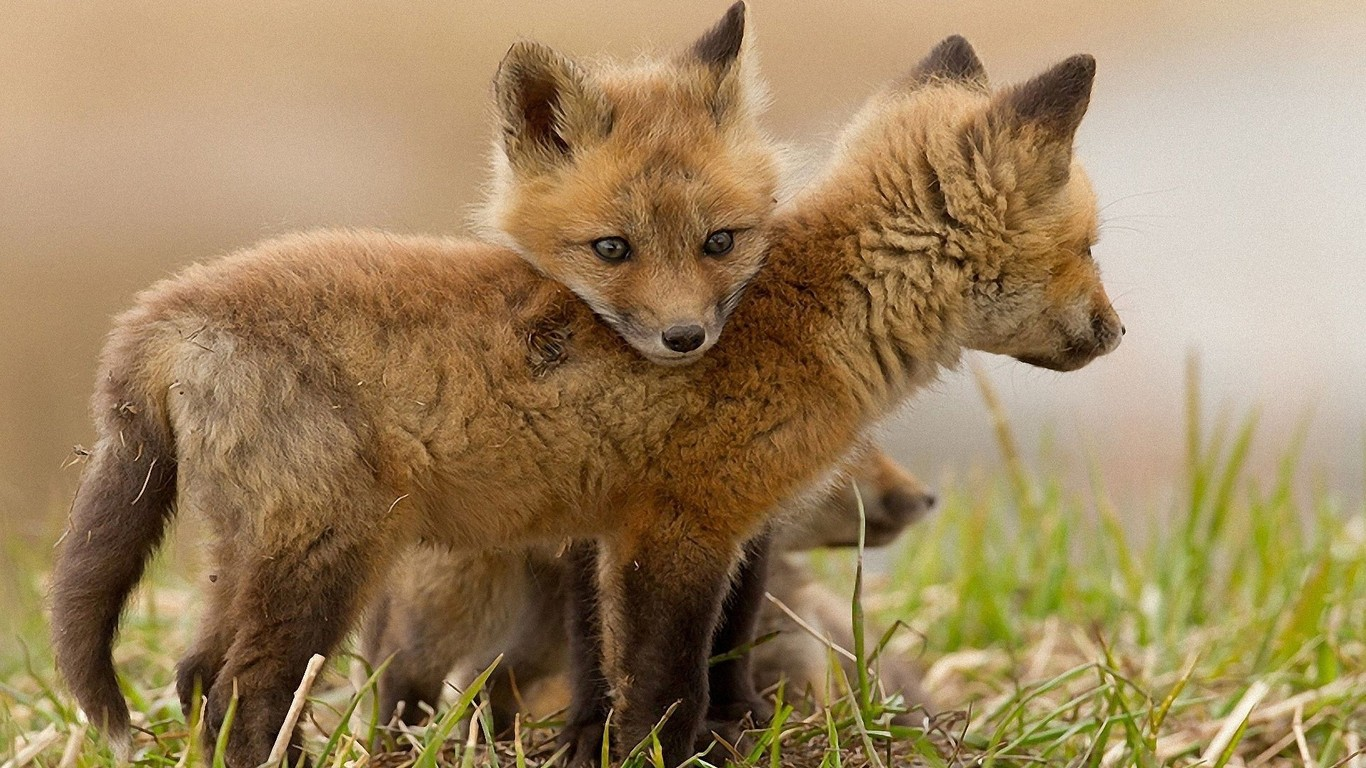 Fox cubs wallpaper 9651 1366x768