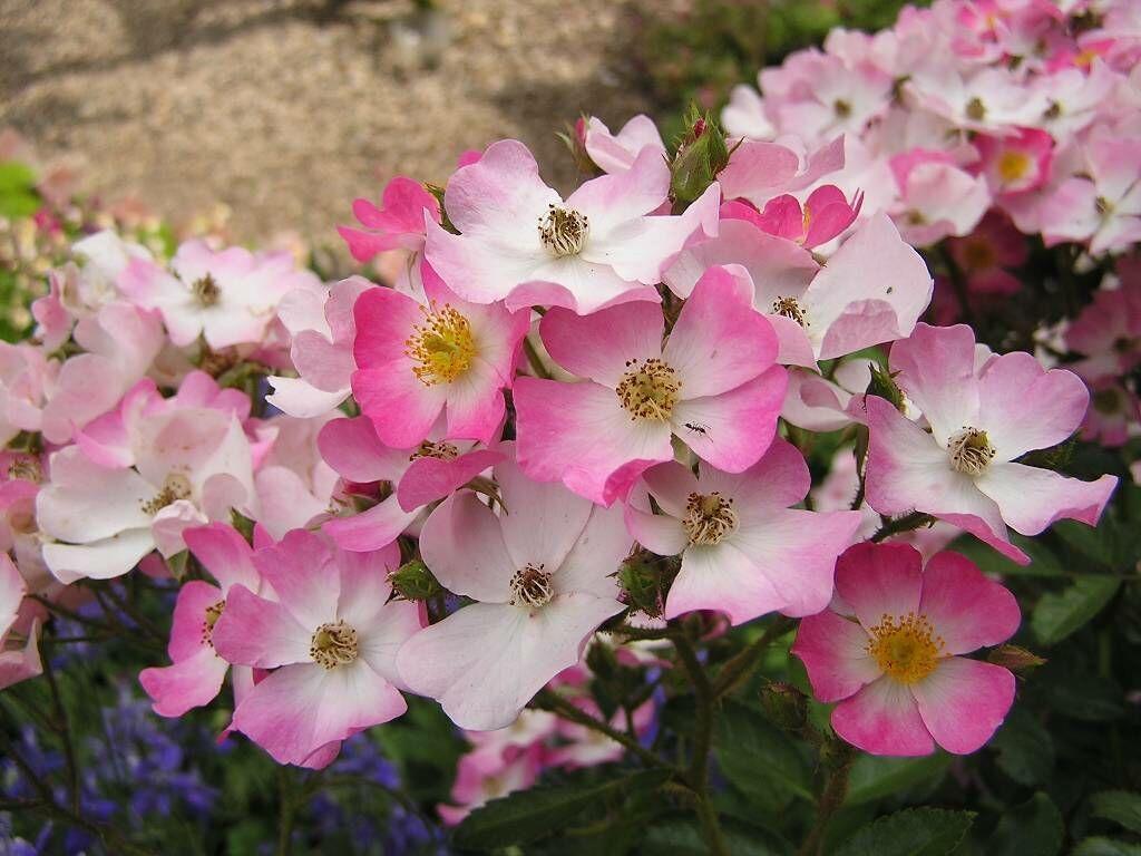 white and pink flowers wallpaper  wallpapersafari, Beautiful flower