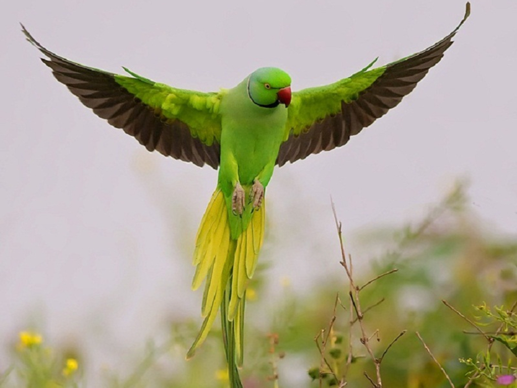Parrot Wallpapers Z46R111 027 Mb   4USkY 1024x768