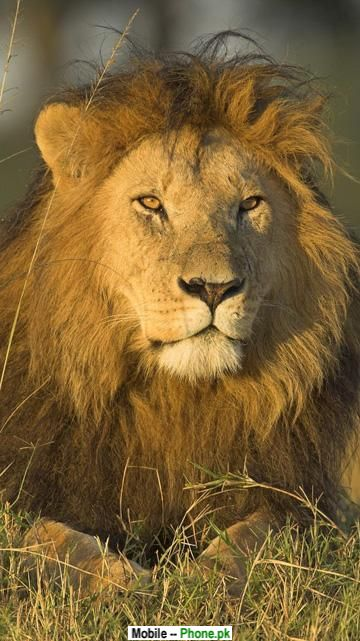 lion face wallpaper animals mobile wallpaperjpg 360x641
