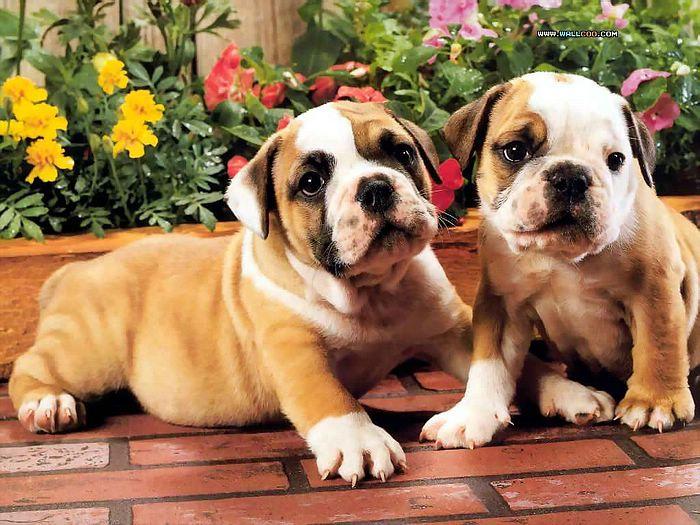 Bulldog Puppy Wallpaper Wallpapersafari