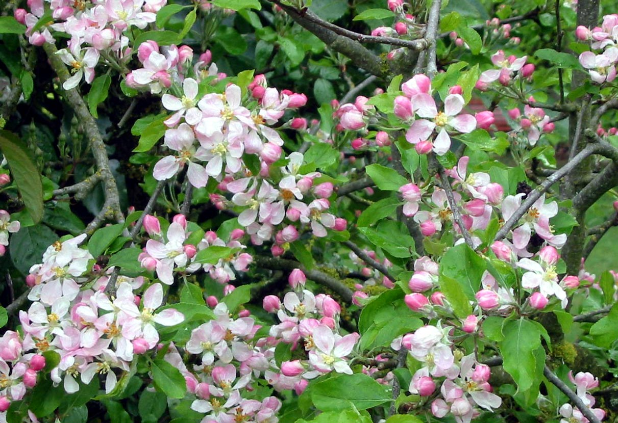 Apple Blossom Wallpapers Wallpaper Bonzy 1211x830
