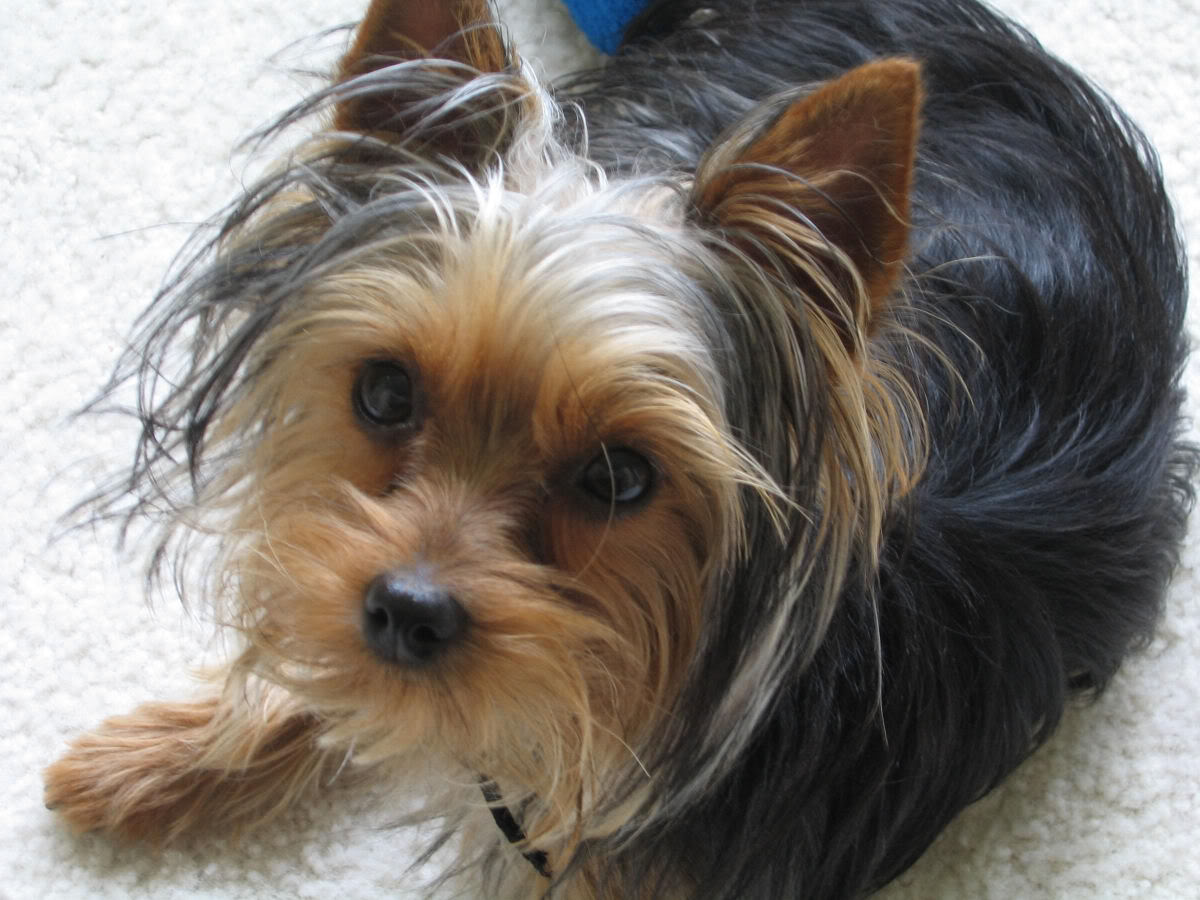 Yorkshire Terrier Graphics Code Yorkshire Terrier Comments 1200x900