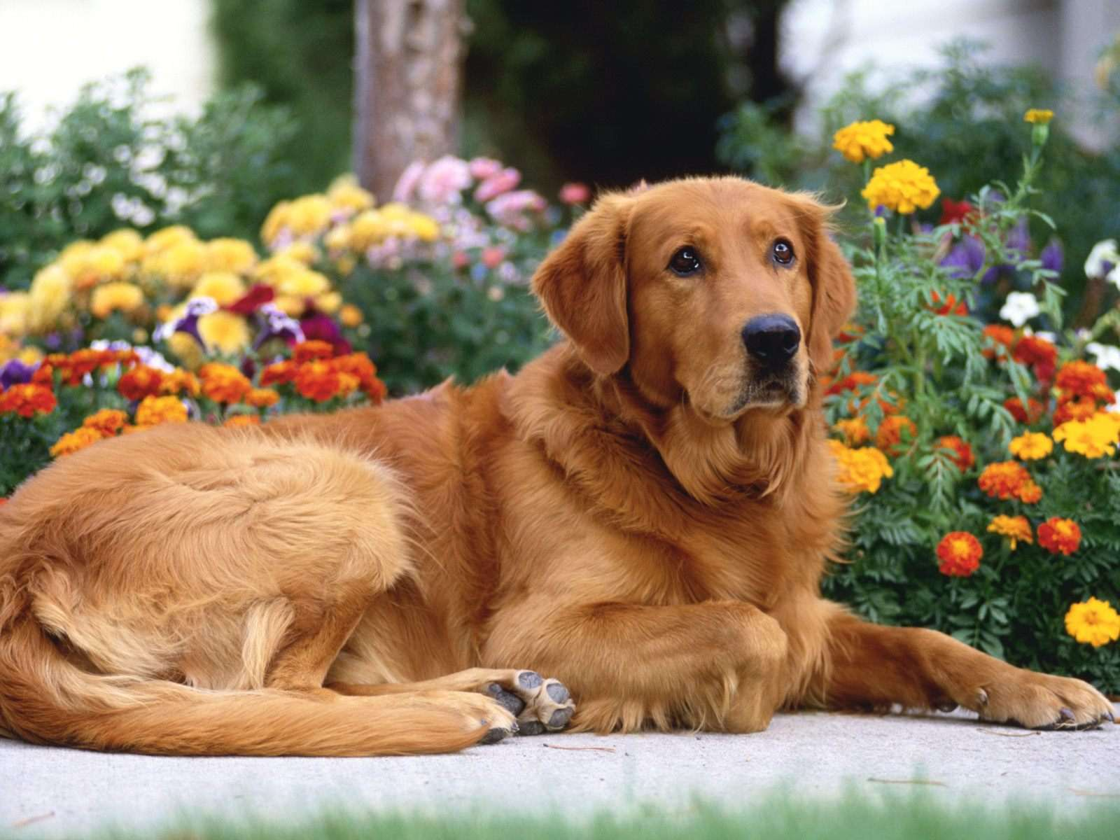 Golden Retriever Dogs Wallpaper Hd Ardusat Org