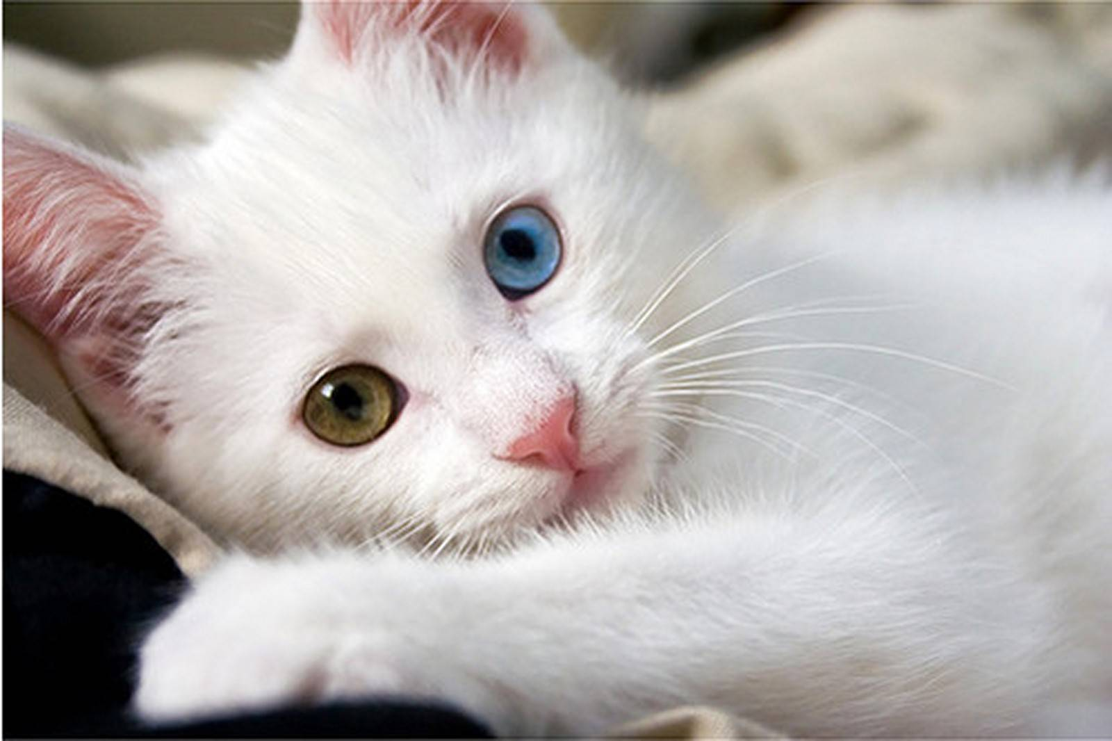 Very Cute Cat   Wallpaper 1600x1066